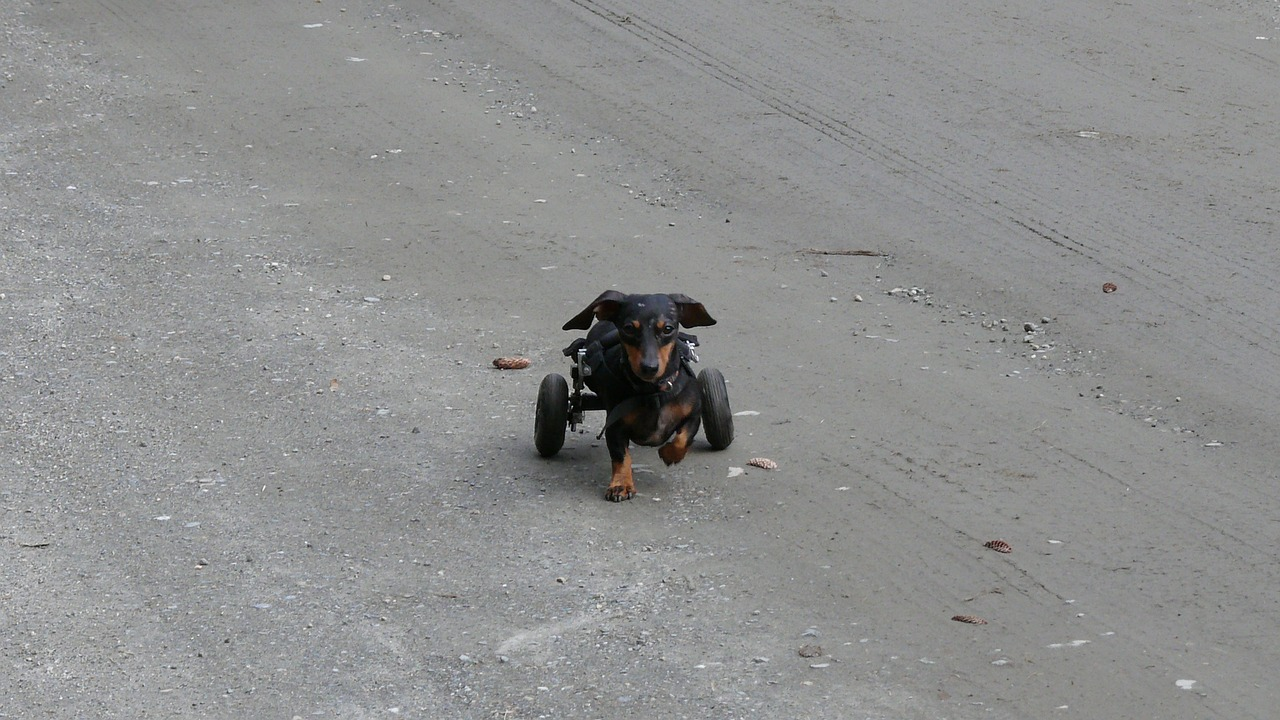 dog sick wheels free photo