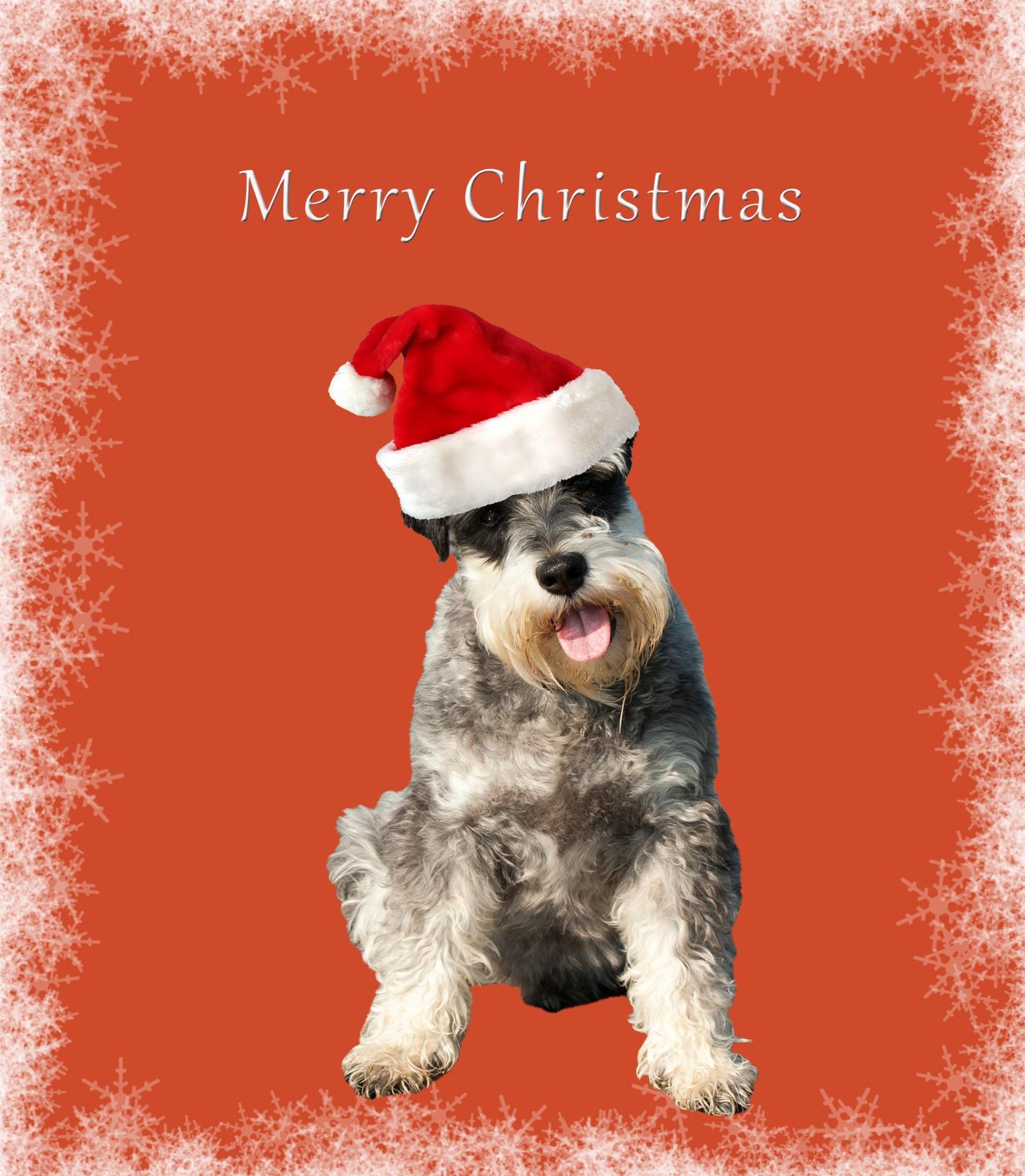 Dogschnauzerminiaturenbspschnauzerchristmascard Free Photo