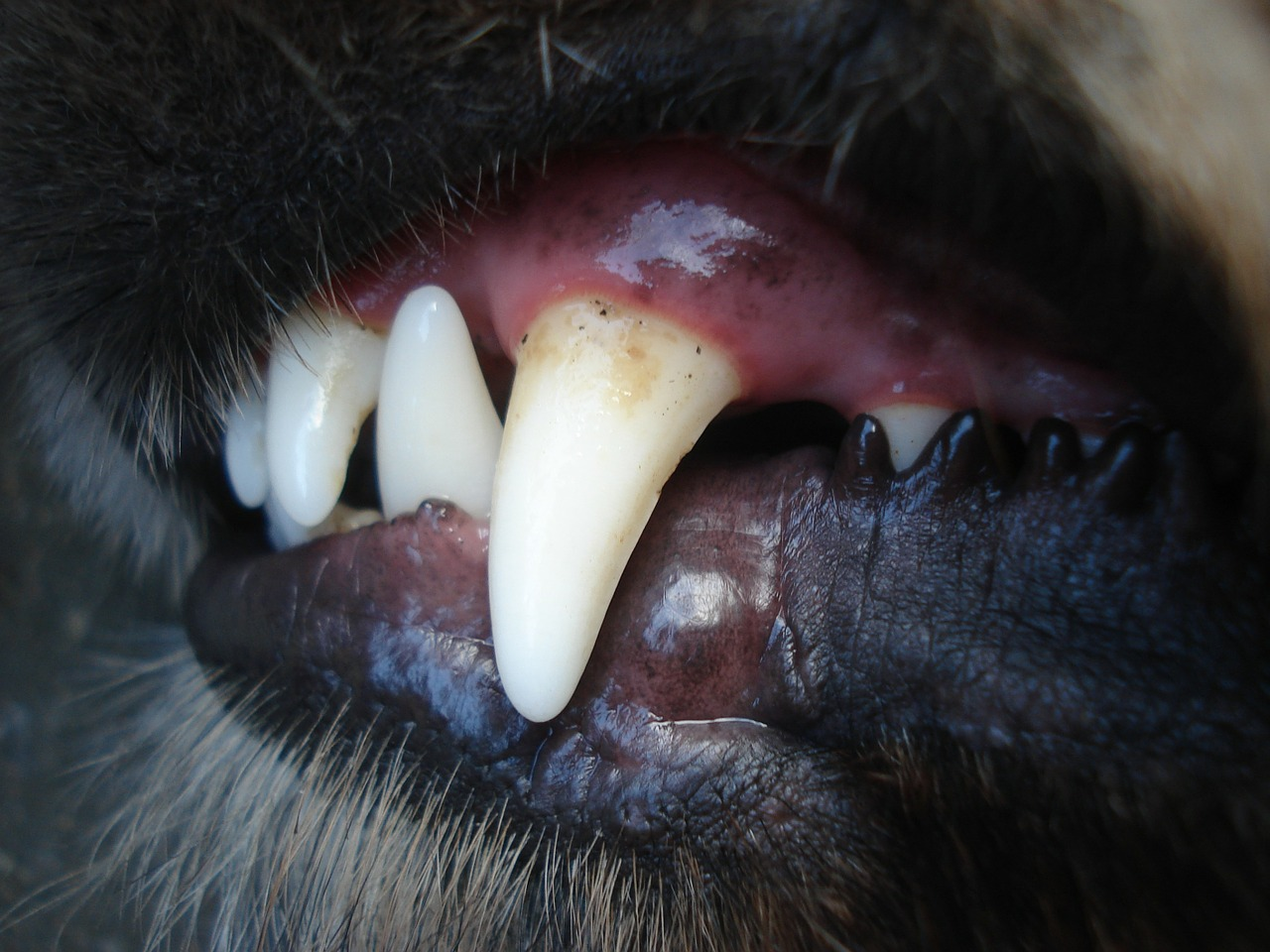 german shepherd teeths