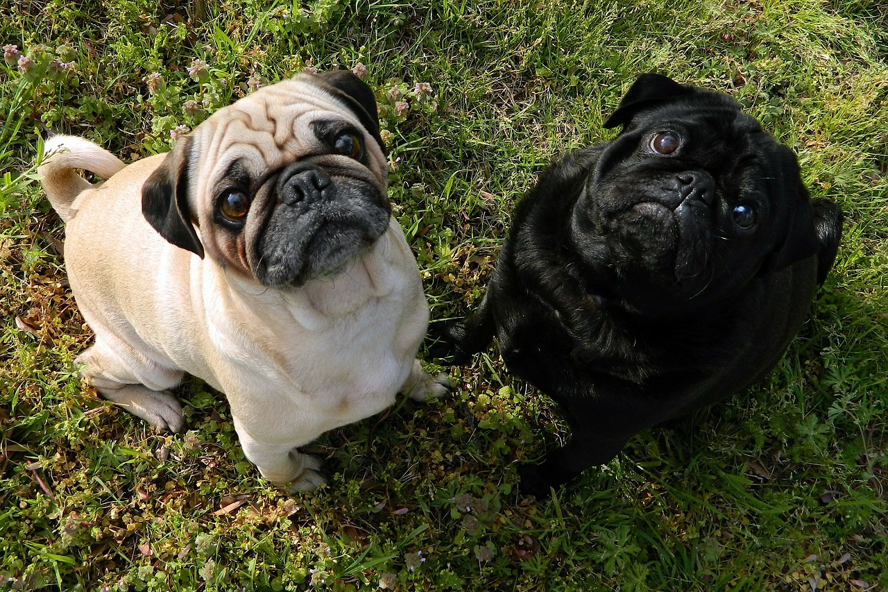 dogs pugs cute free photo