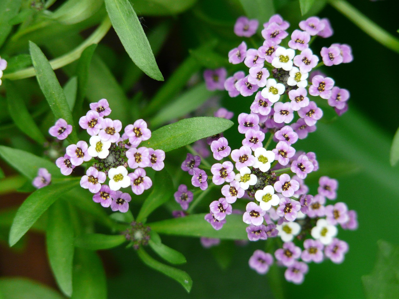 doldiger cress cress arabis caucasica free photo