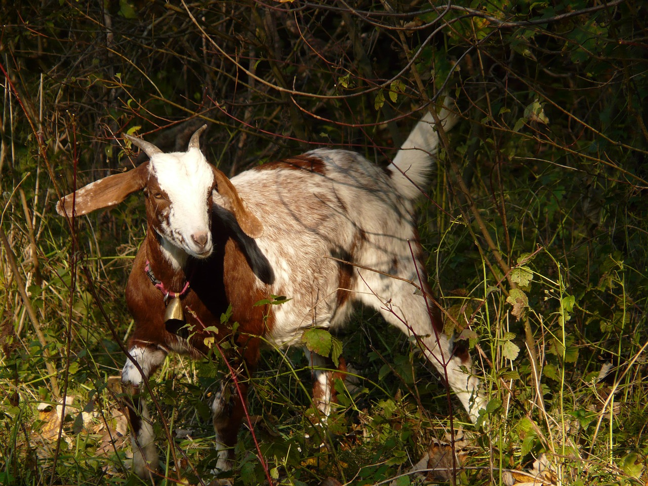 domestic goat capra aegagrus hircus goat free photo