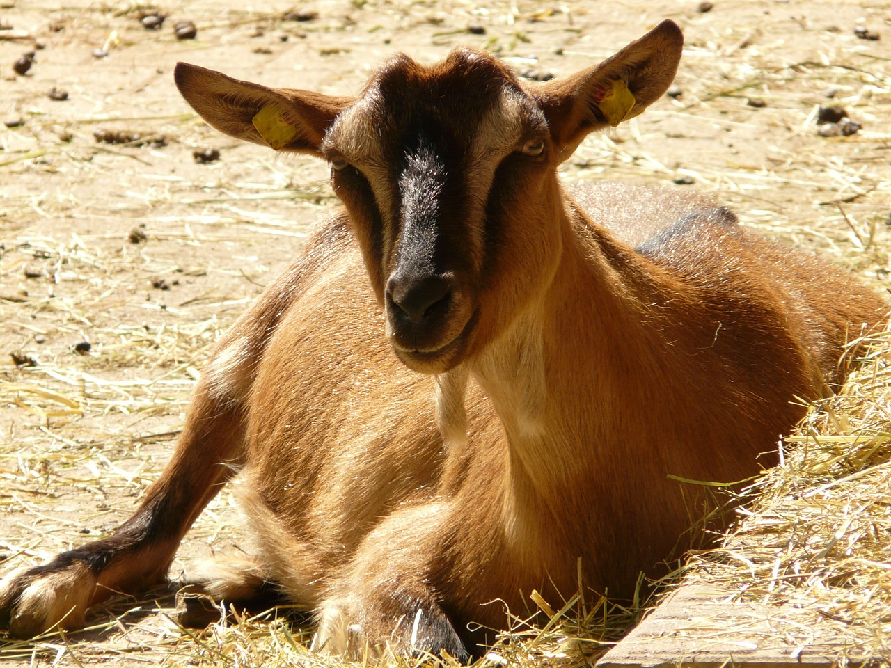 domestic goat goat livestock free photo