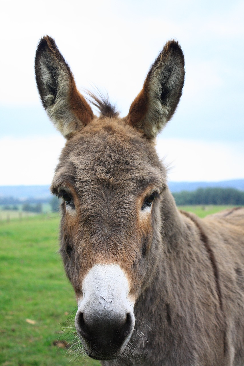 donkey lelkendorf gray donkey free photo