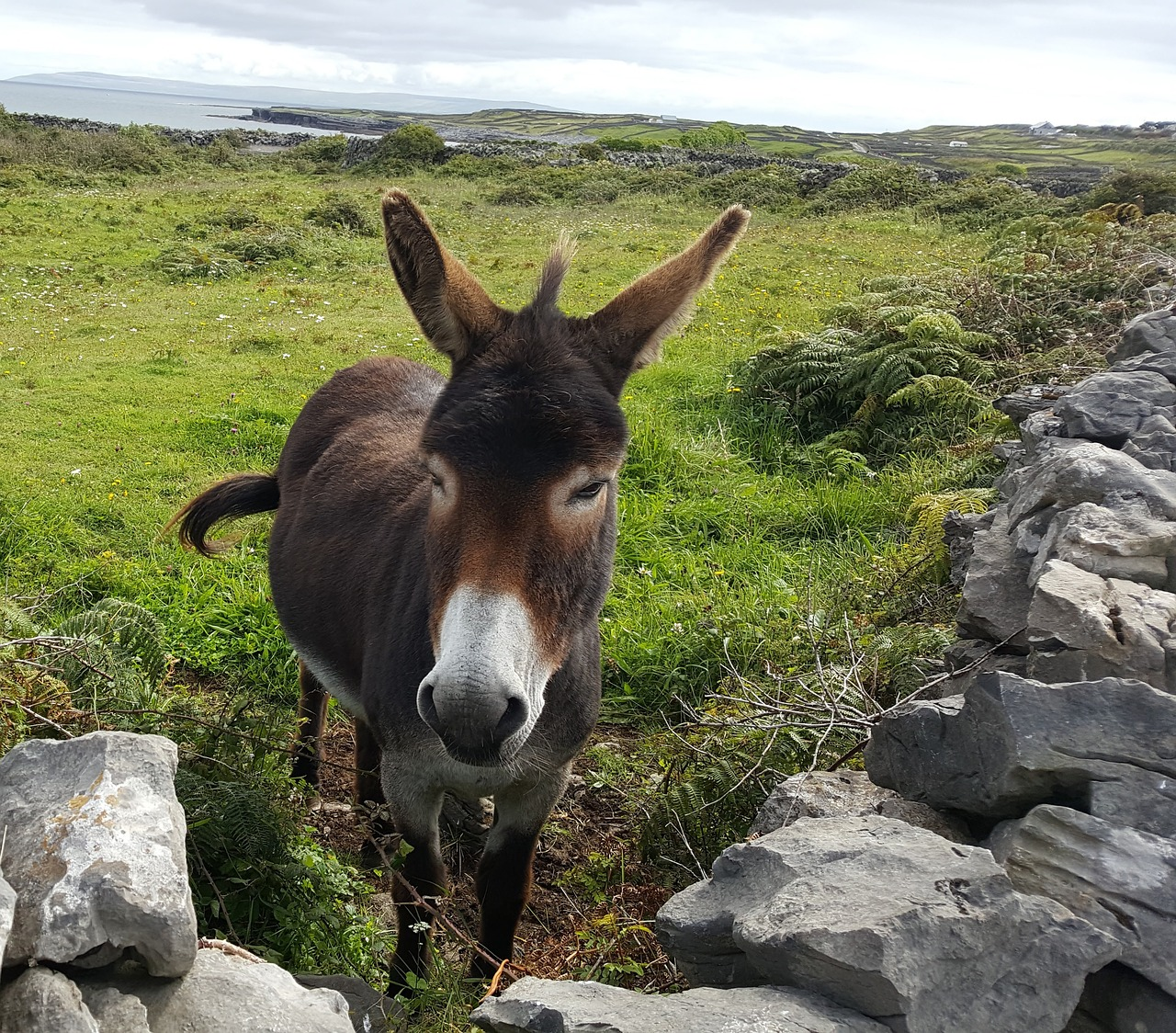 donkey animal grass free photo