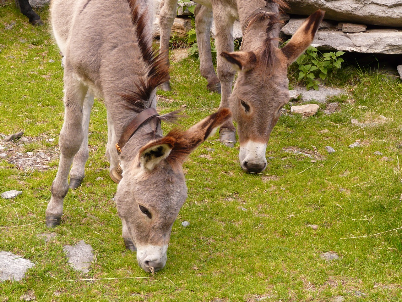donkey animal animals free photo