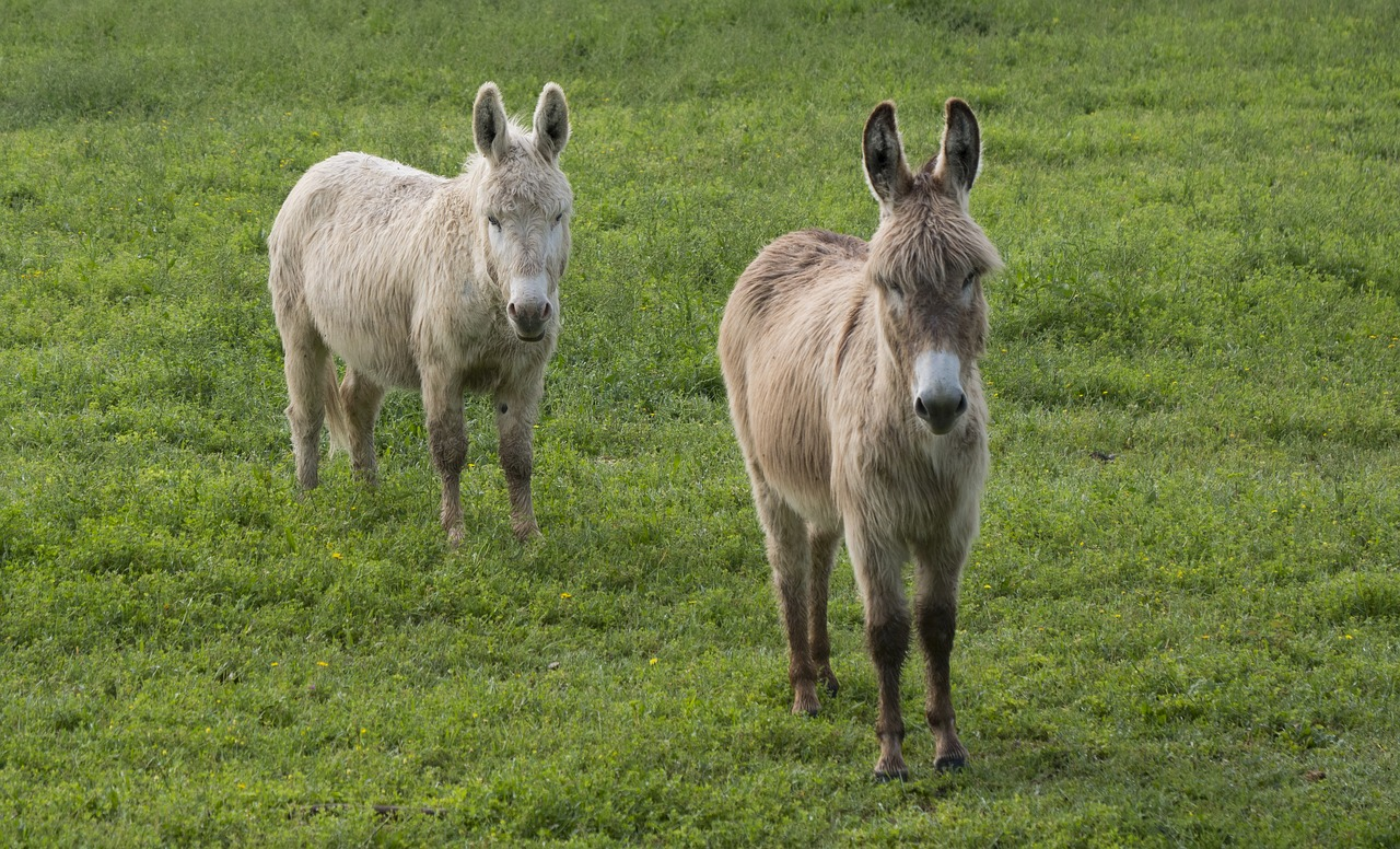 donkey  white ass  gray donkey free photo