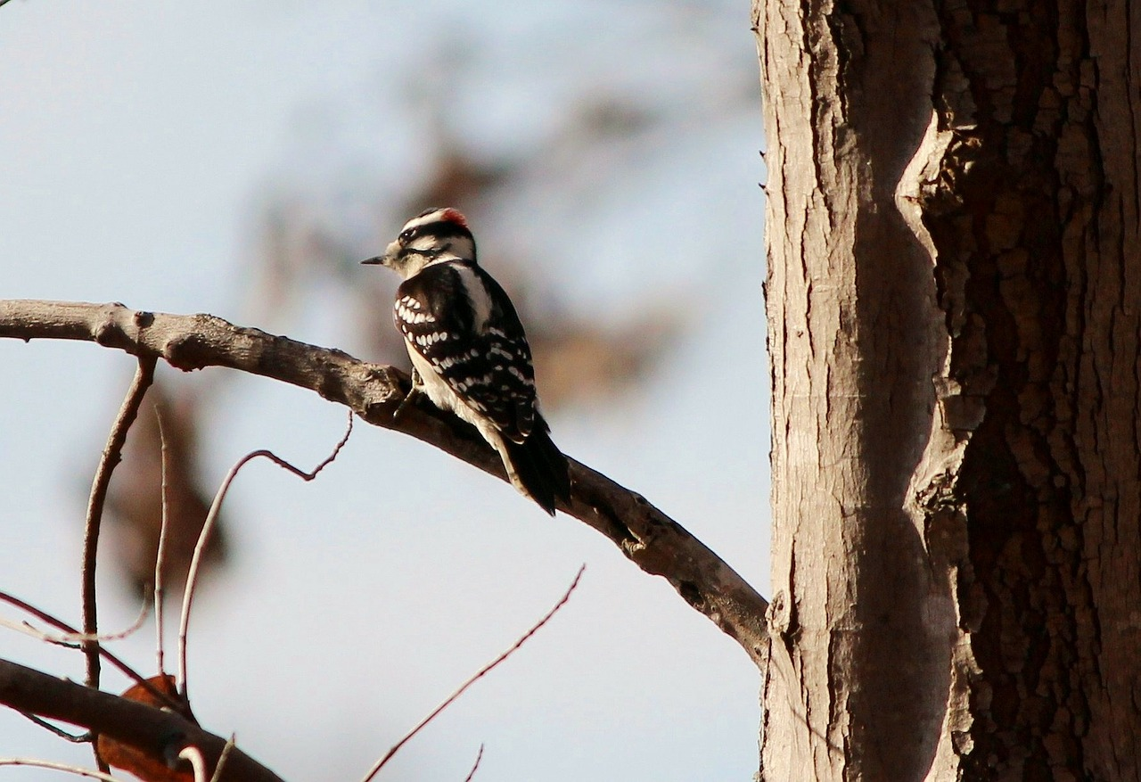 downy woodpecker bird male free photo