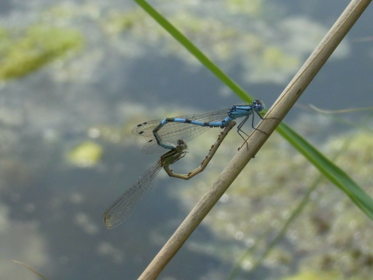 dragonflies insect water free photo