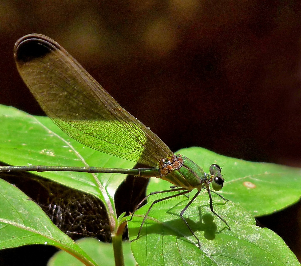 dragonfly black-tipped forest glory insect free photo