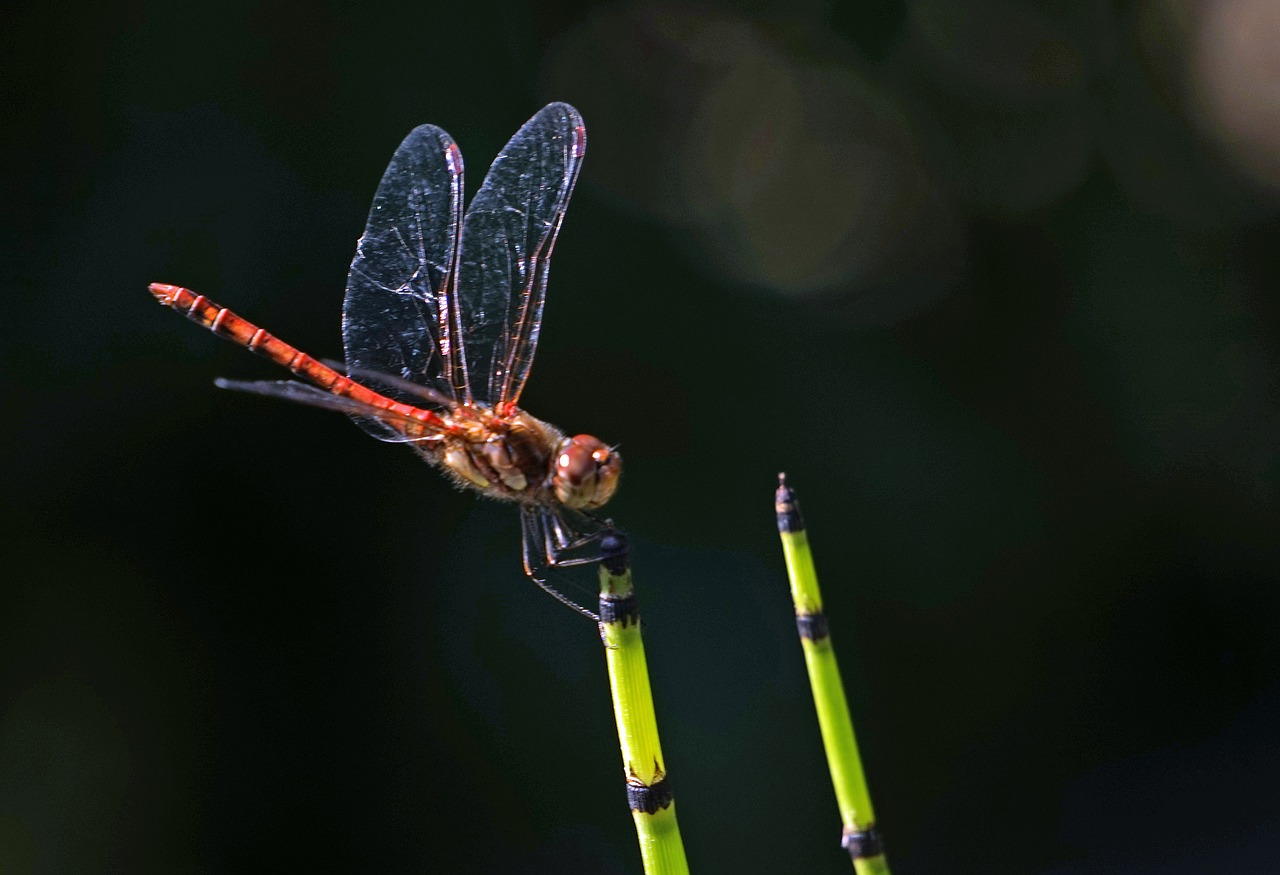 dragonfly,halm,insect,wing,transparent,flight insect,close,small dragonfly,free pictures, free photos, free images, royalty free, free illustrations, public domain