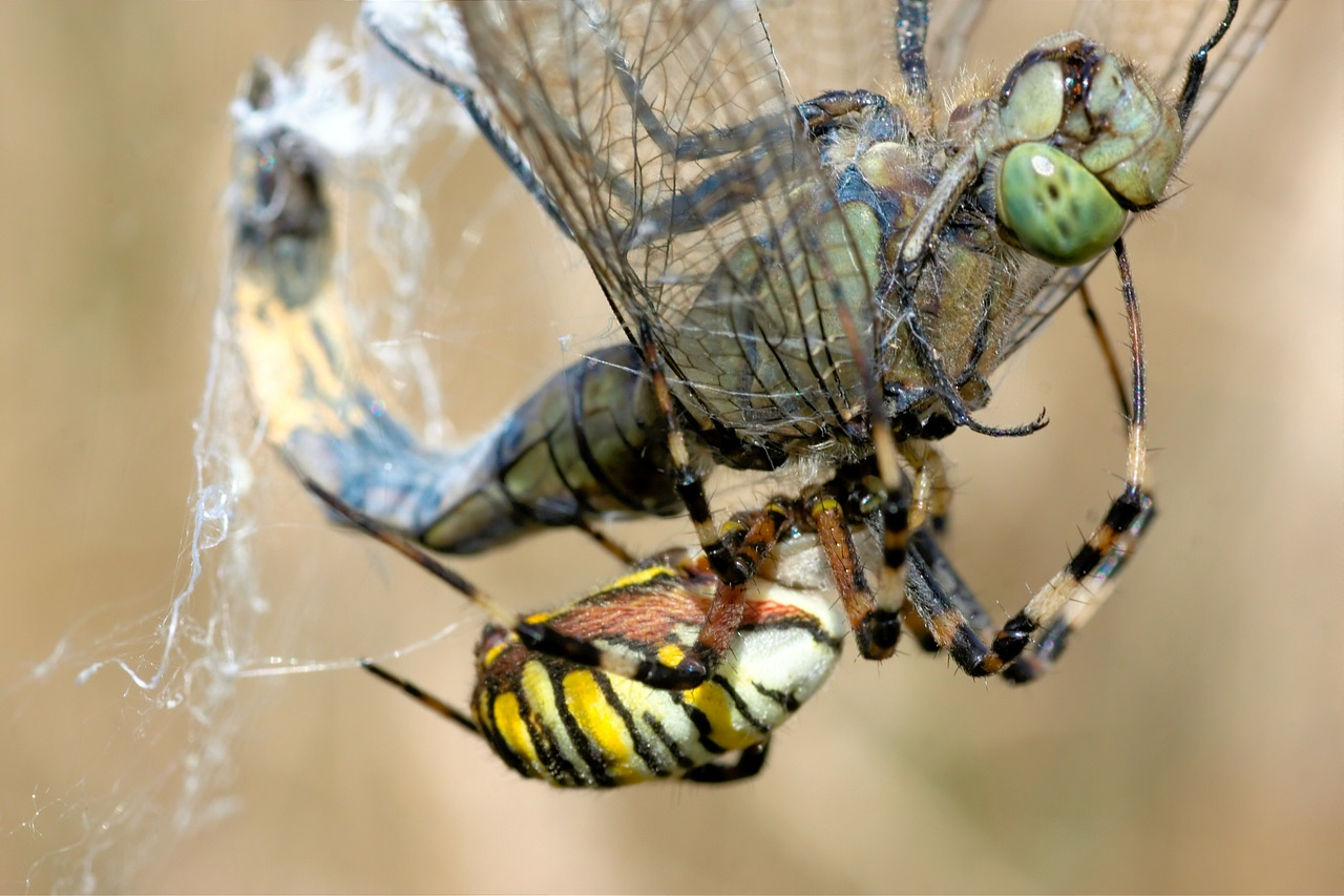 dragonfly spider wasp spider free photo