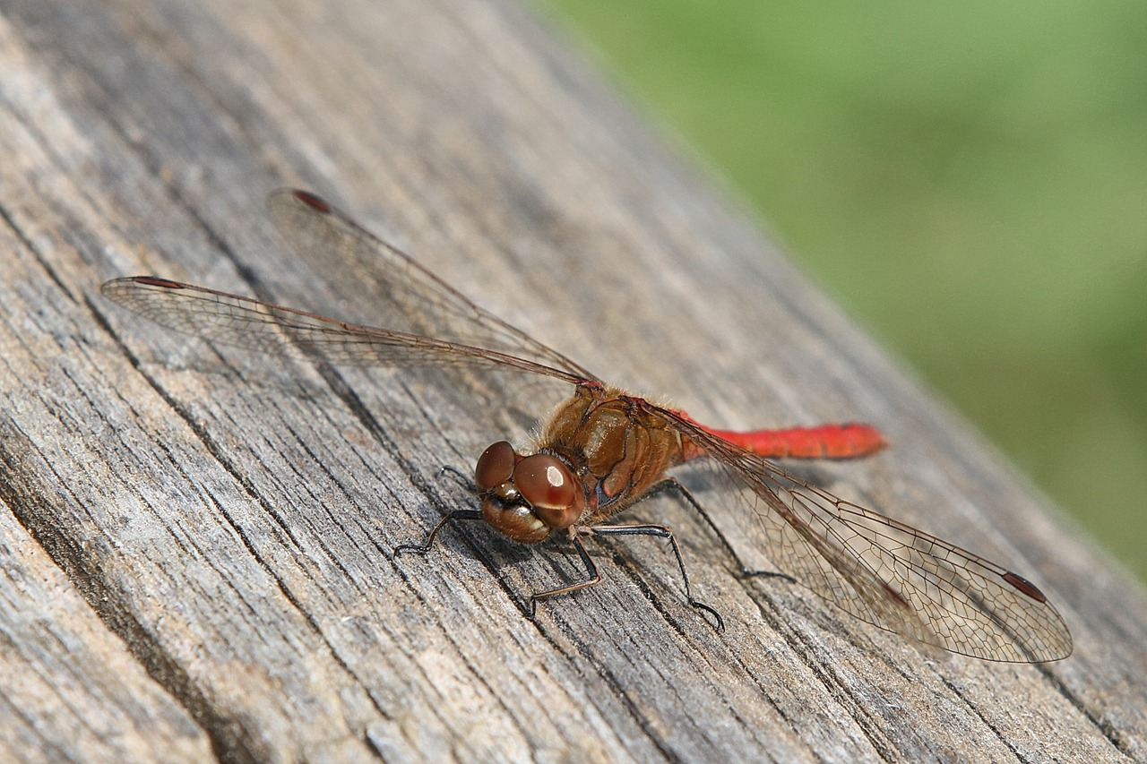 dragonfly red macro free photo