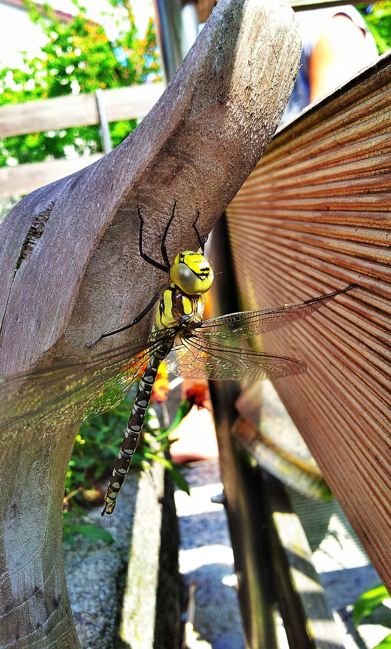 dragonfly,insect,pond,garden,free pictures, free photos, free images, royalty free, free illustrations, public domain