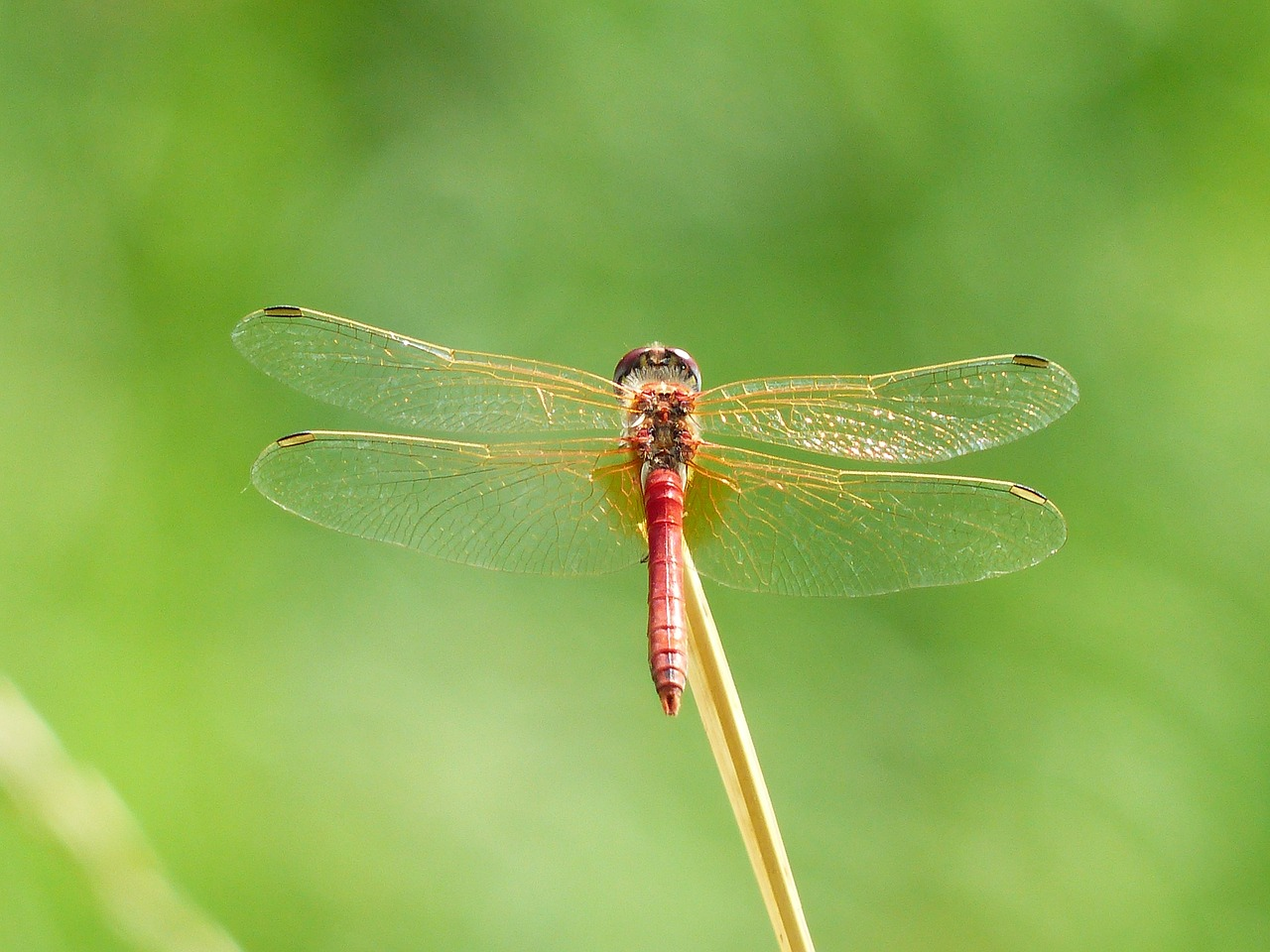 dragonfly red animal free photo