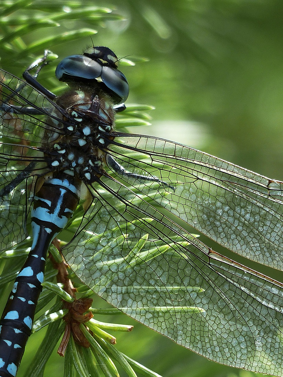 dragonfly blue black free photo