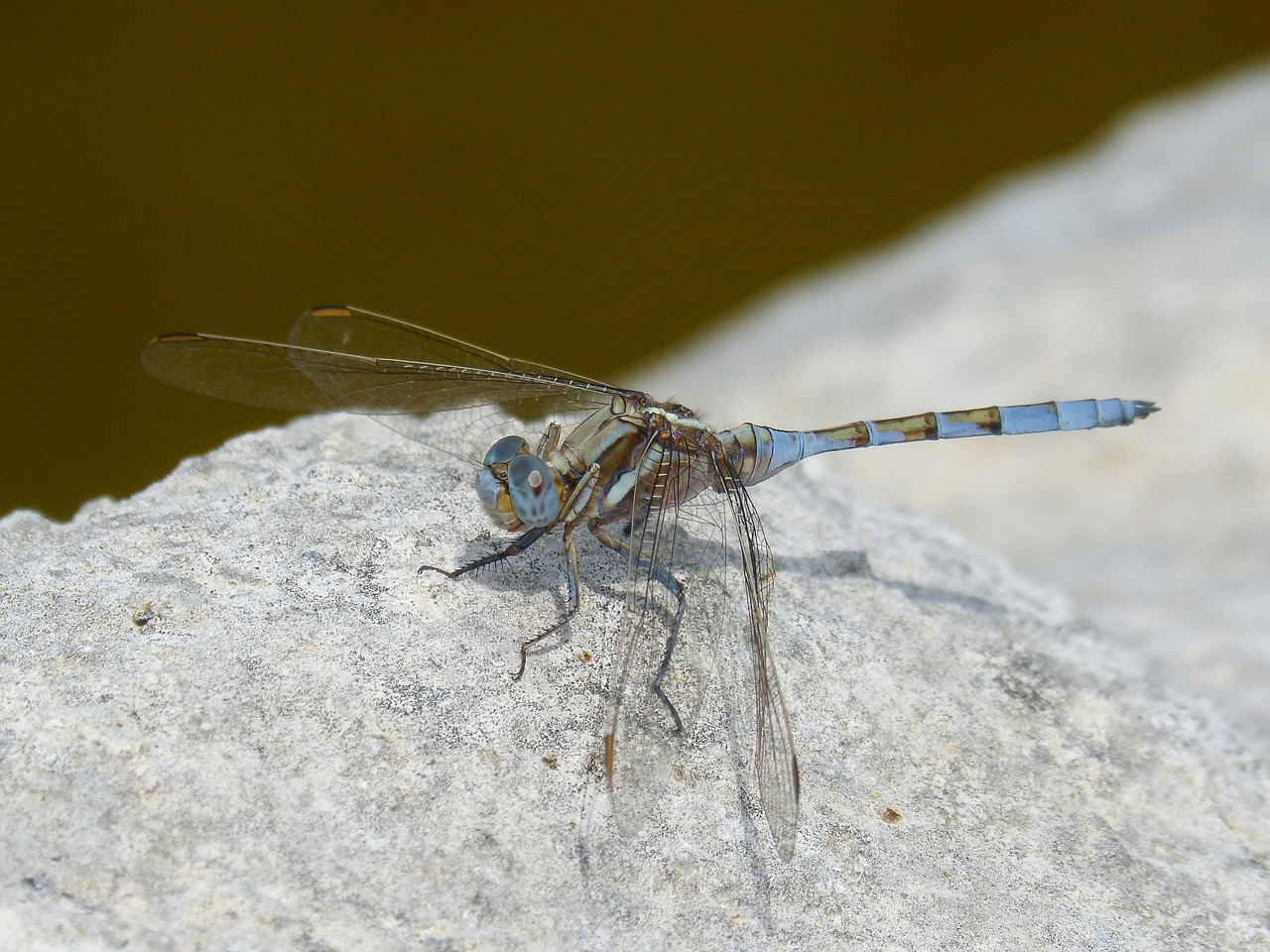dragonfly blue dragonfly rock free photo