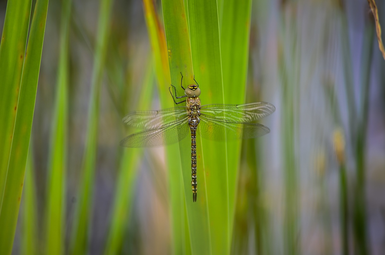 dragonfly migrant hawker free photo