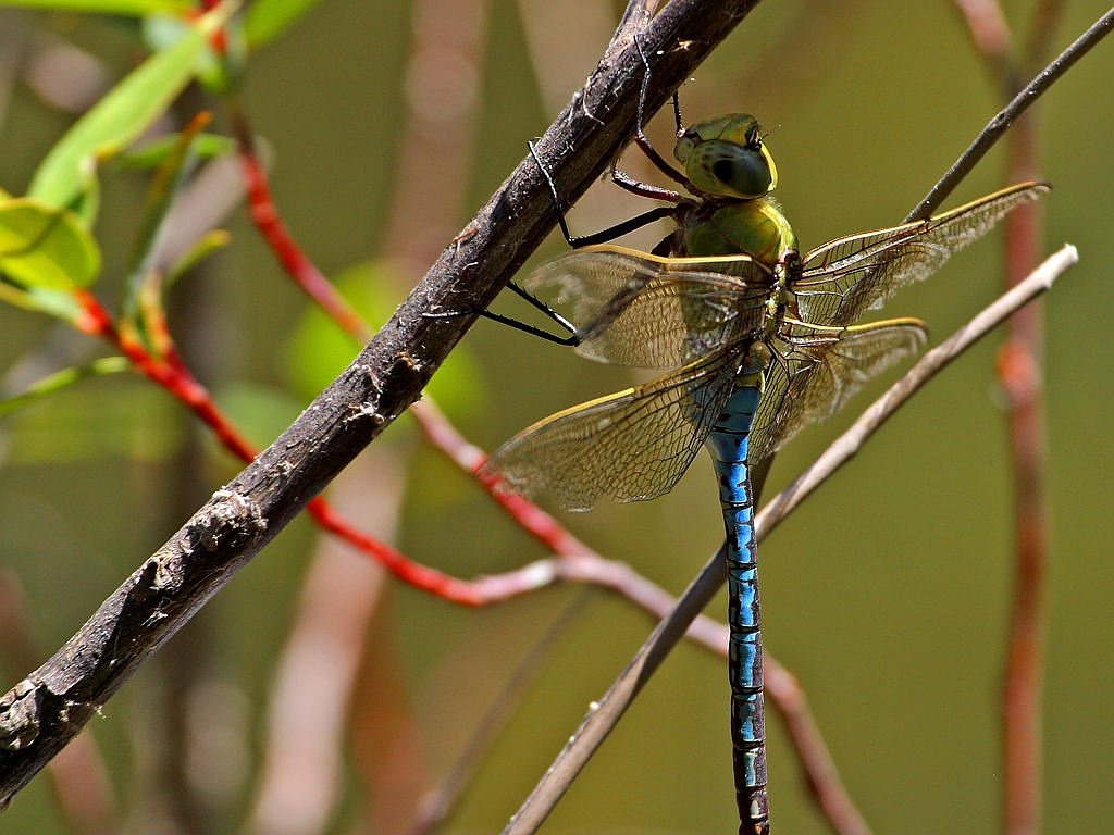 dragonfly,blue,green,wing,branch,insect,nature,animals,fauna,environment,macro,close,closeup,free pictures, free photos, free images, royalty free, free illustrations, public domain