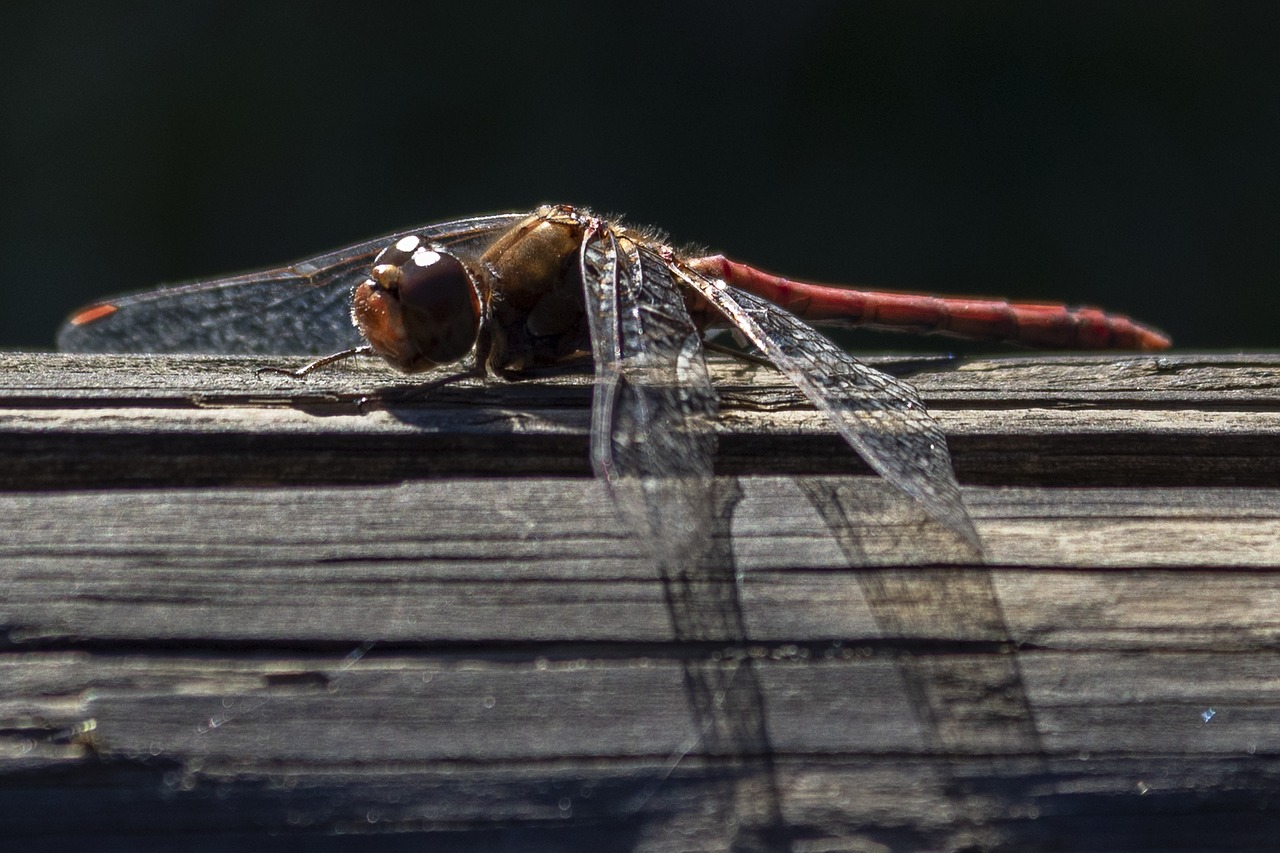 dragonfly  animal  insect free photo