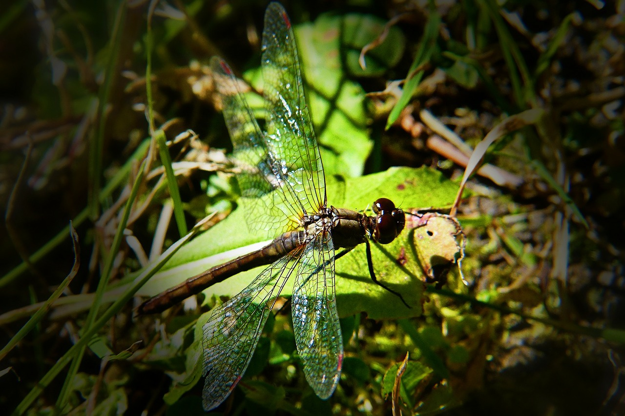 dragonfly insect nature free photo