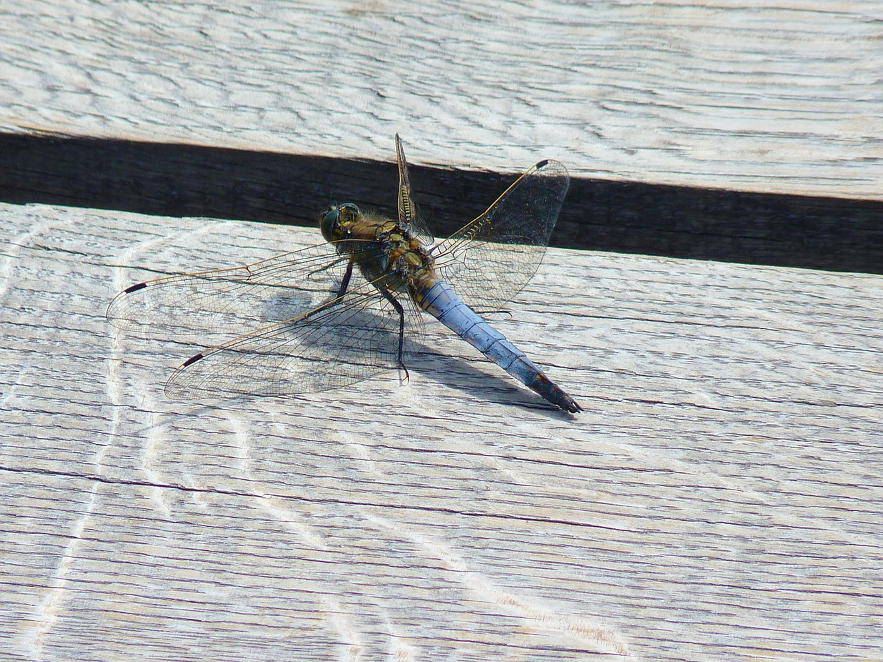 dragonfly insect wing free photo