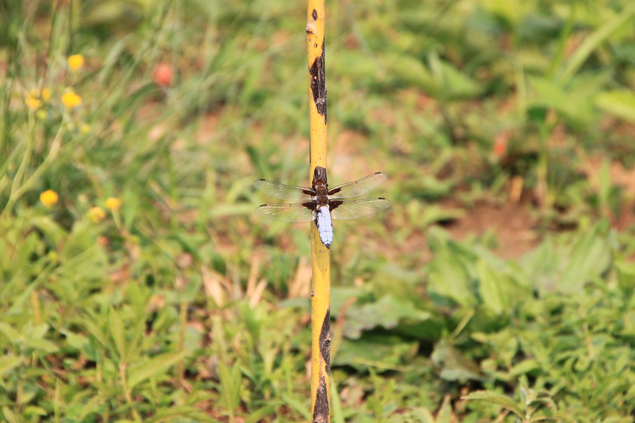 dragonfly hanging large free photo