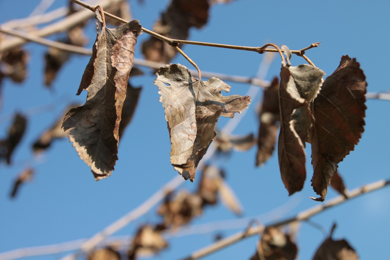 dried leaves mulberry free photo