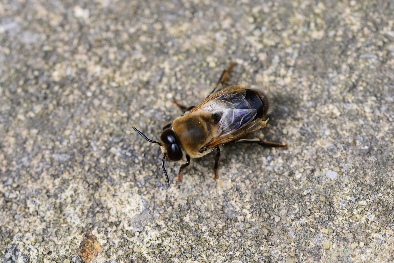 drone honey bee male free photo