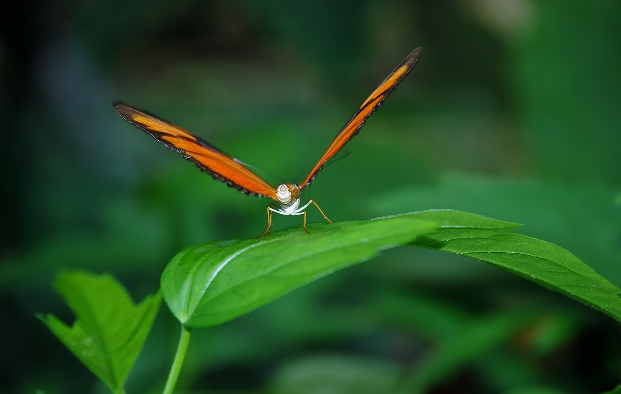 dryas julia julia longwin butterfly free photo