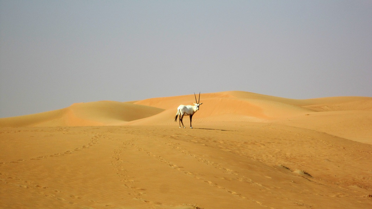 dubai desert oryx free photo