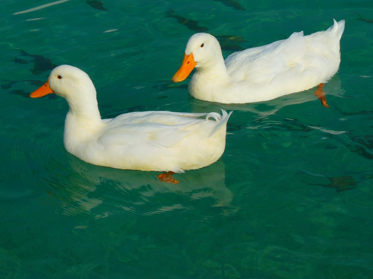 duck white ducks free photo