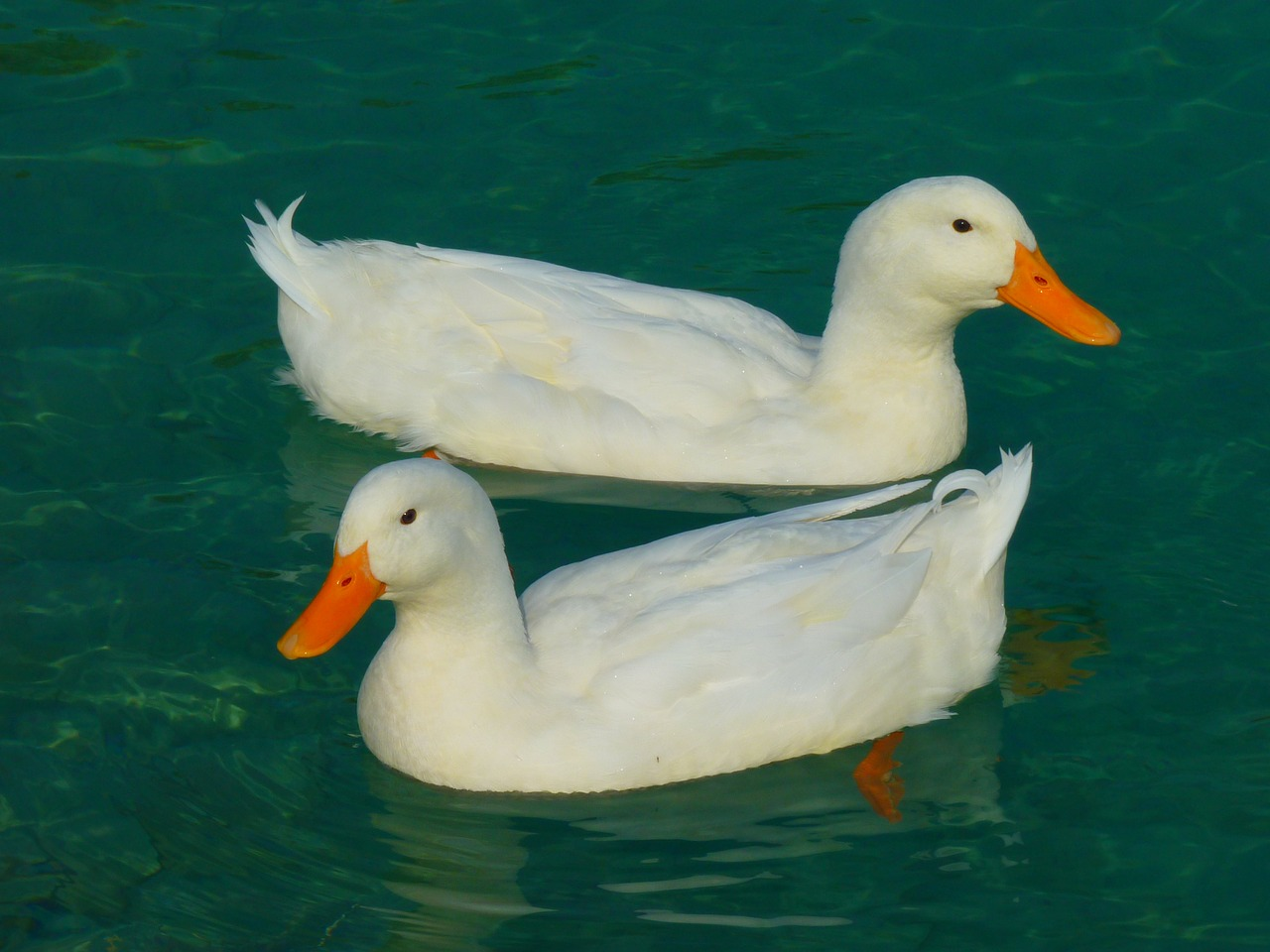 duck white ducks free picture