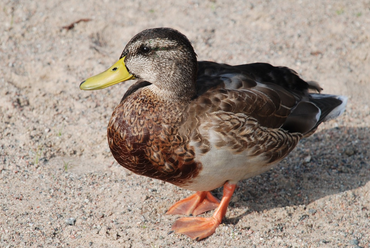 duck birds water free photo