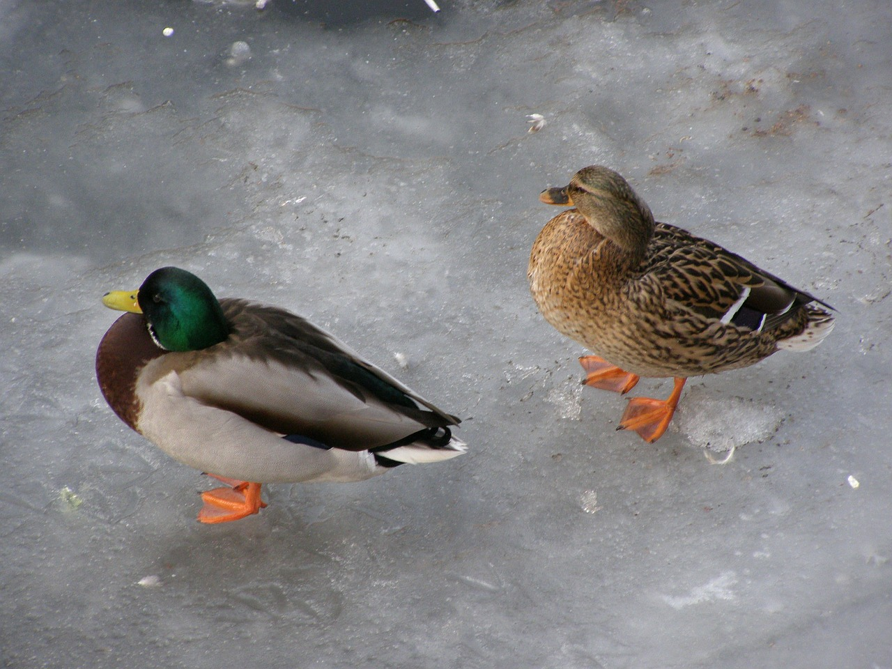 duck drake ice free photo