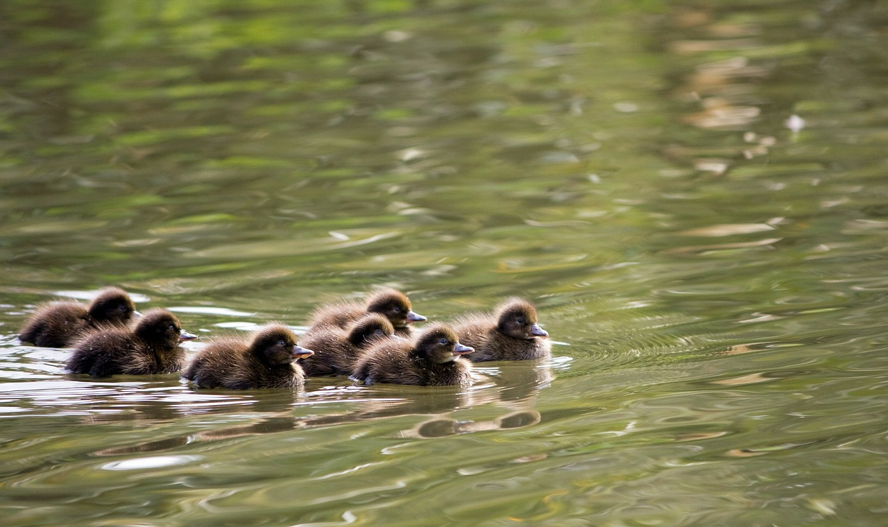 ducklings duckling duck free photo