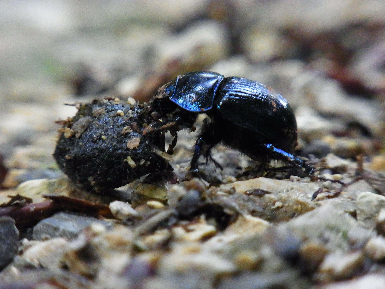 dung beetle insect dung free photo