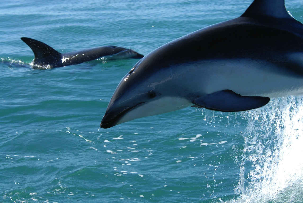 dusky dolphin dolphins sea free picture