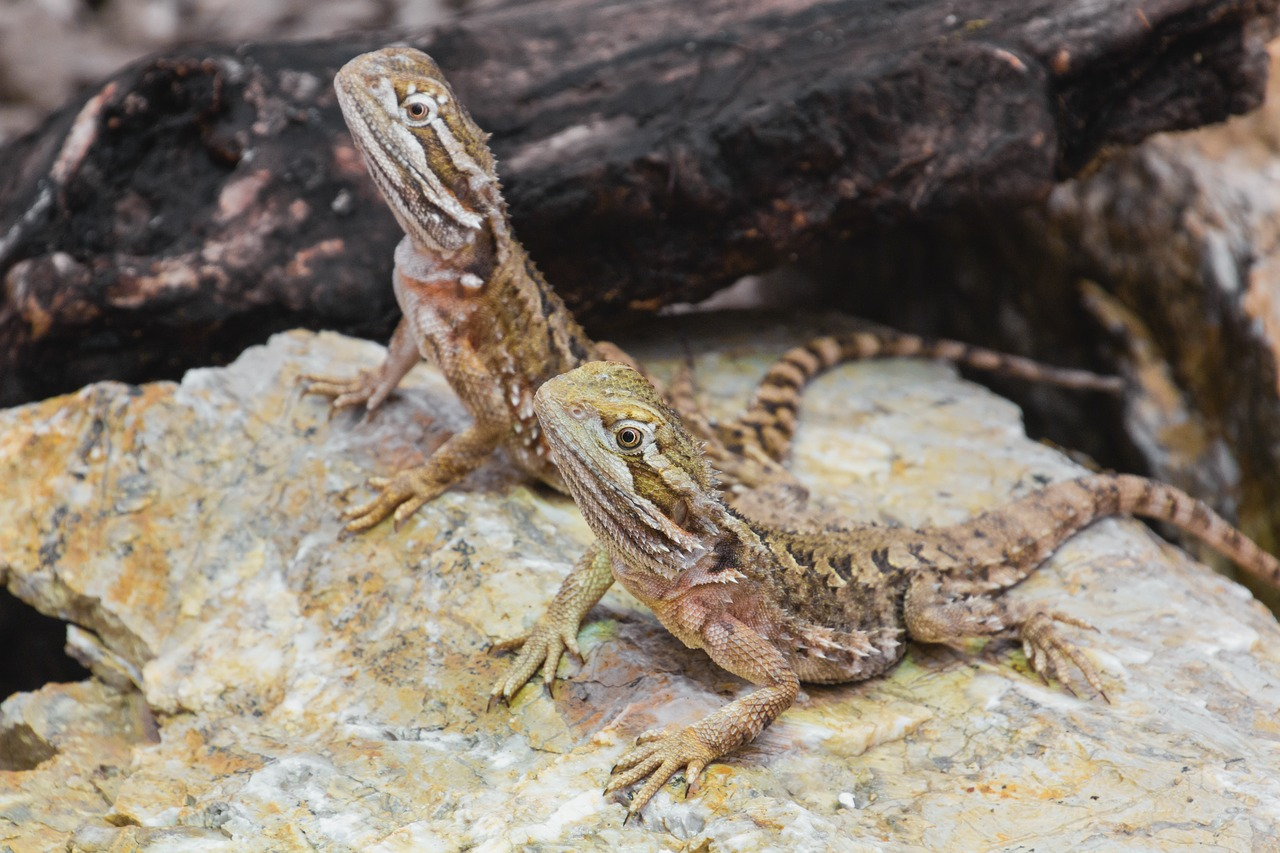 dwarf bearded dragon agame reptile free photo