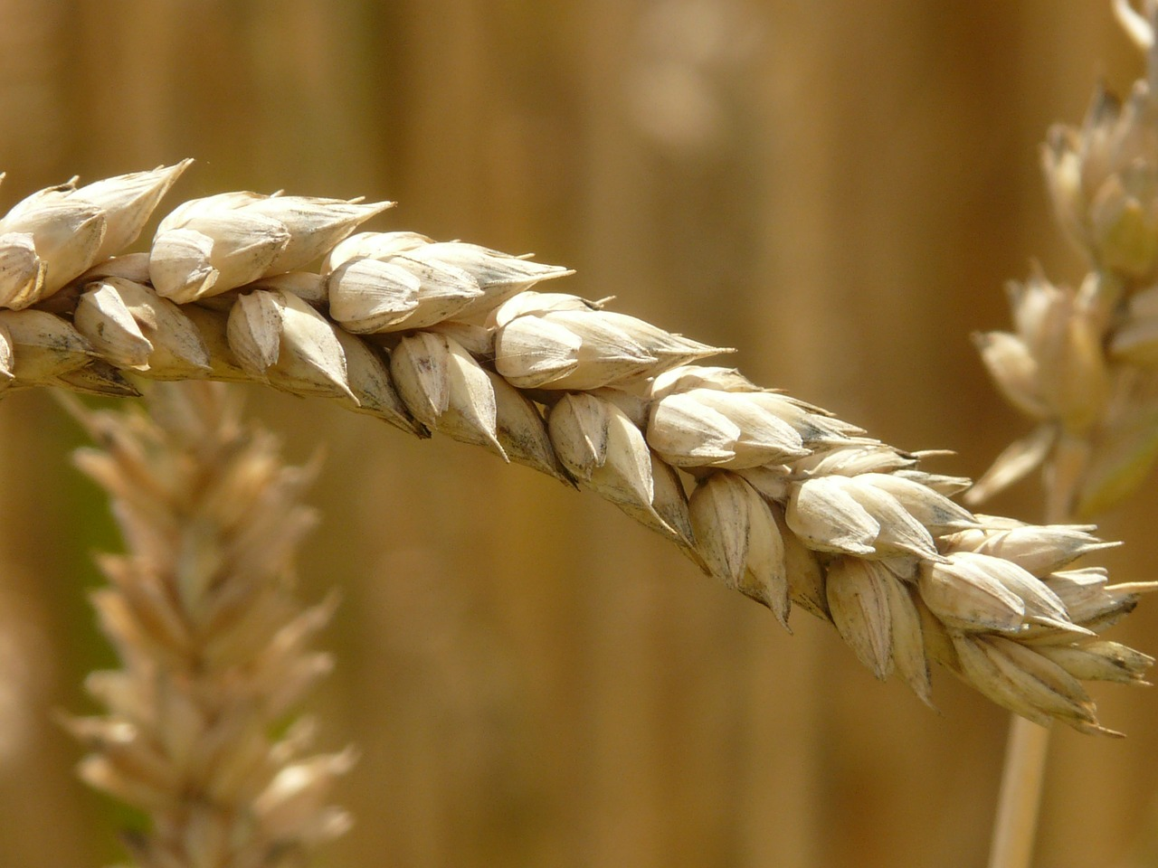 ear wheat cereals free photo