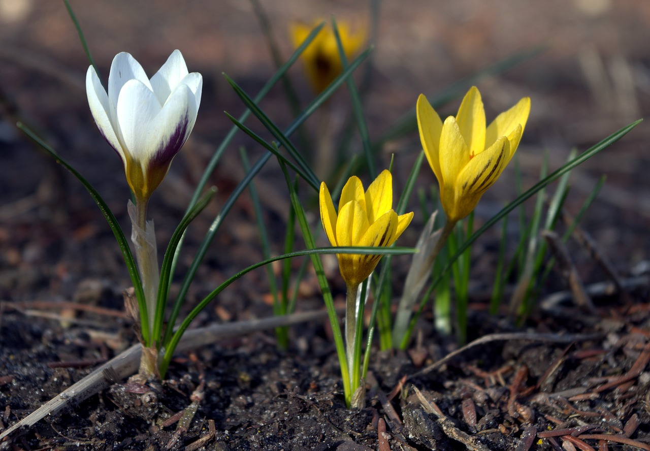 early bloomer  crocus  spring free photo