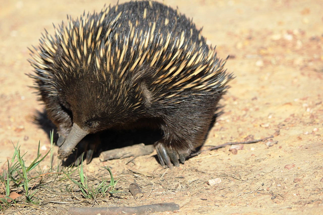 echidna,australia,animal,marsupial,cute,free pictures, free photos, free images, royalty free, free illustrations, public domain