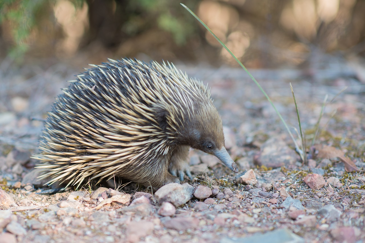 echidna spiny anteater tachyglossidae free photo