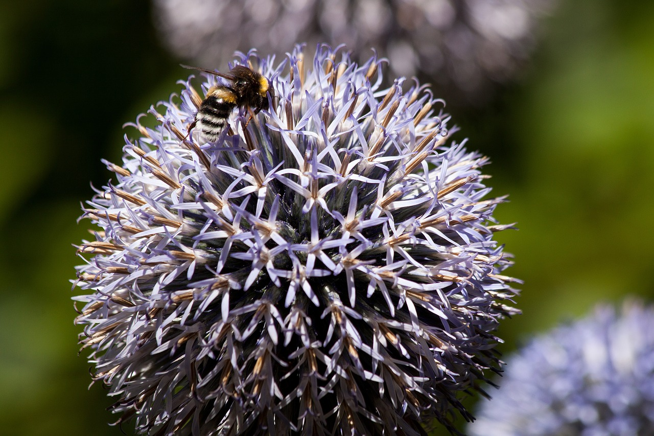 echinops composites flora free photo