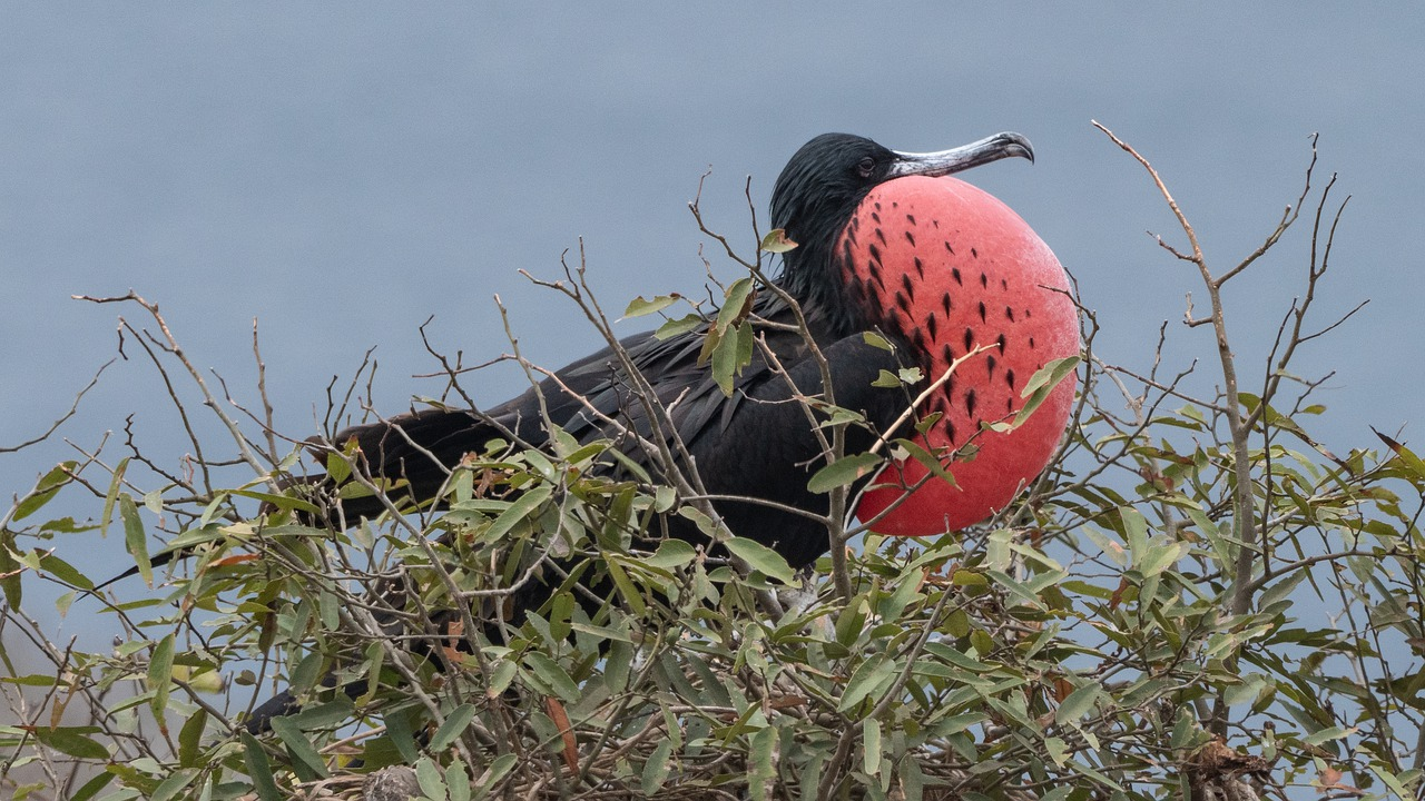 ecuador  frigate  frigate birds free photo