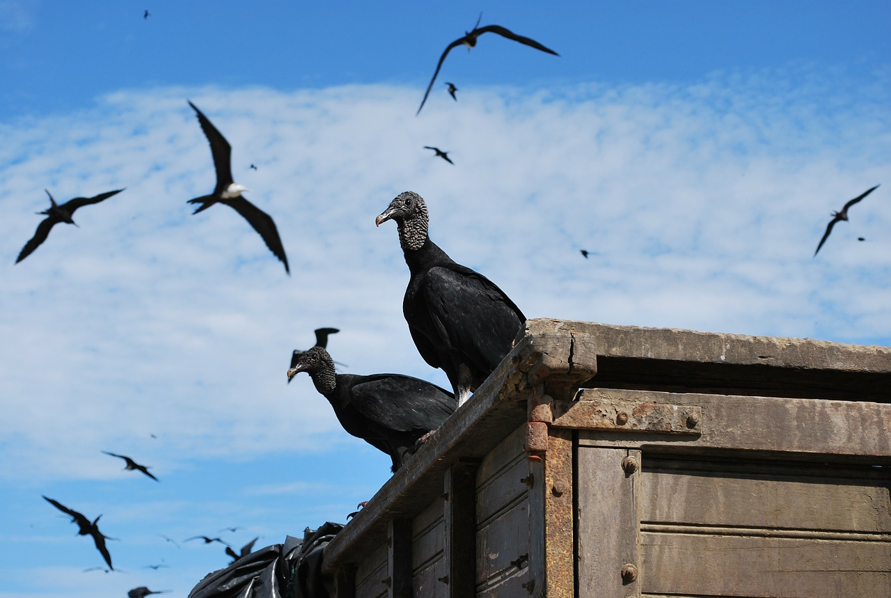 ecuador black vulture birds free photo