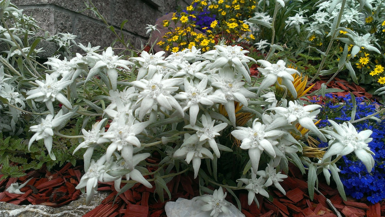 edelweiss garden nature free photo