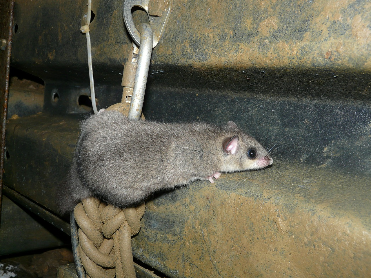 edible dormouse rodent glis glis free photo