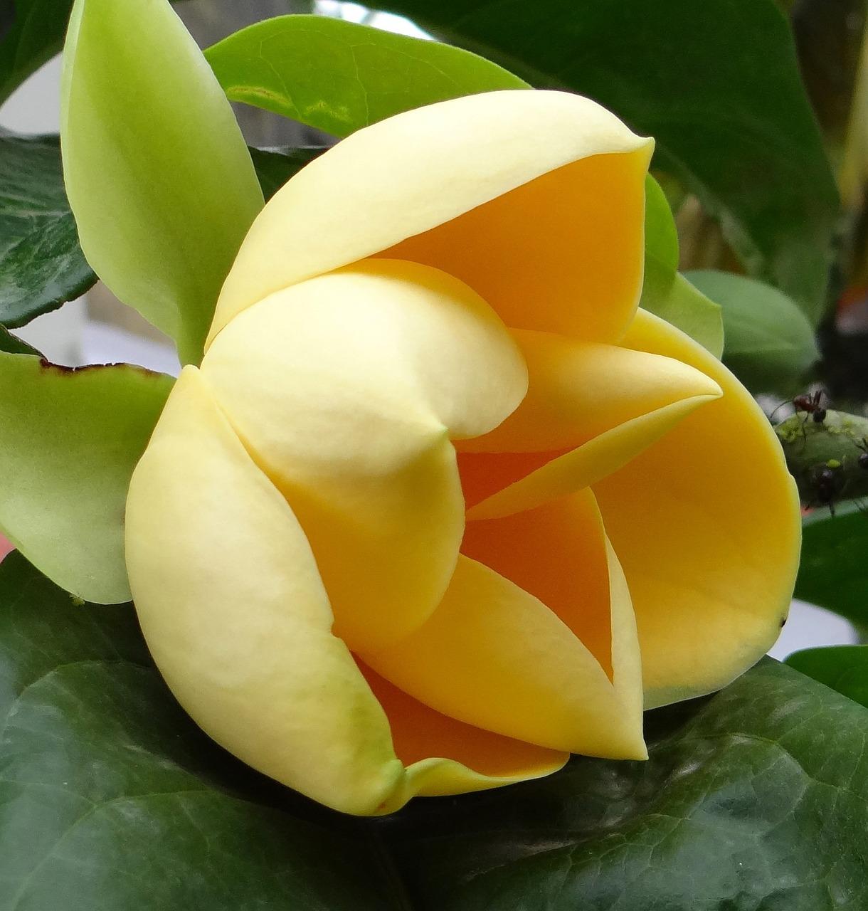 Egg Magnoliamagnolia Liliiferaflowertropicalbloom Free Photo