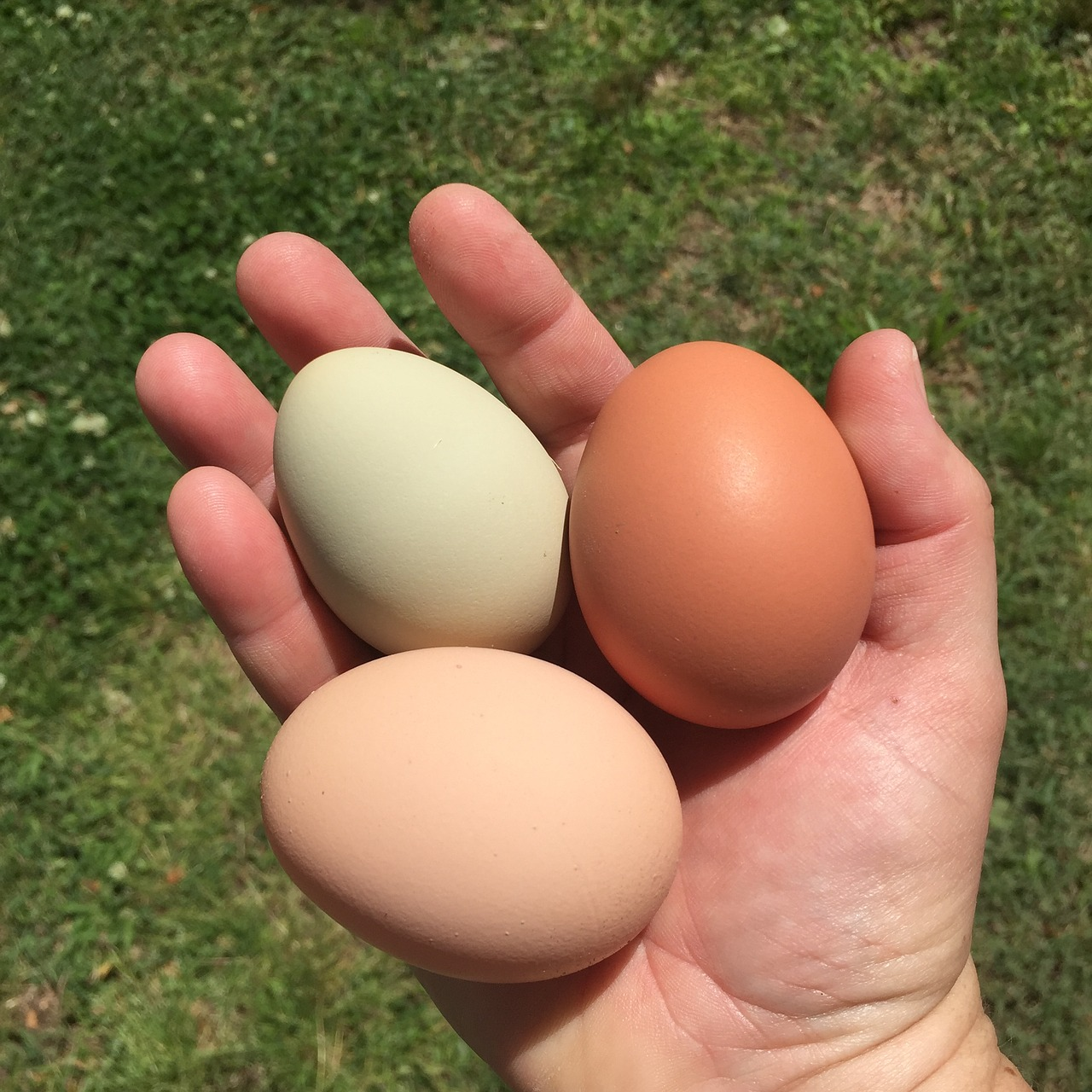 eggs chickens backyard chickens free photo